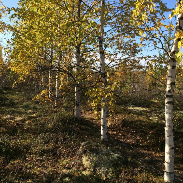 Phytochemical controls on boreal forest carbon cycling
